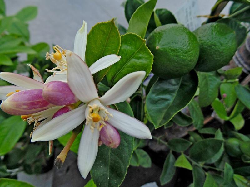 Citromvirág