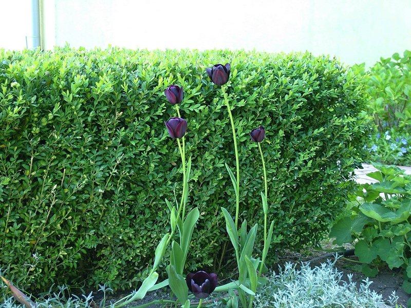 Fekete tulipánok