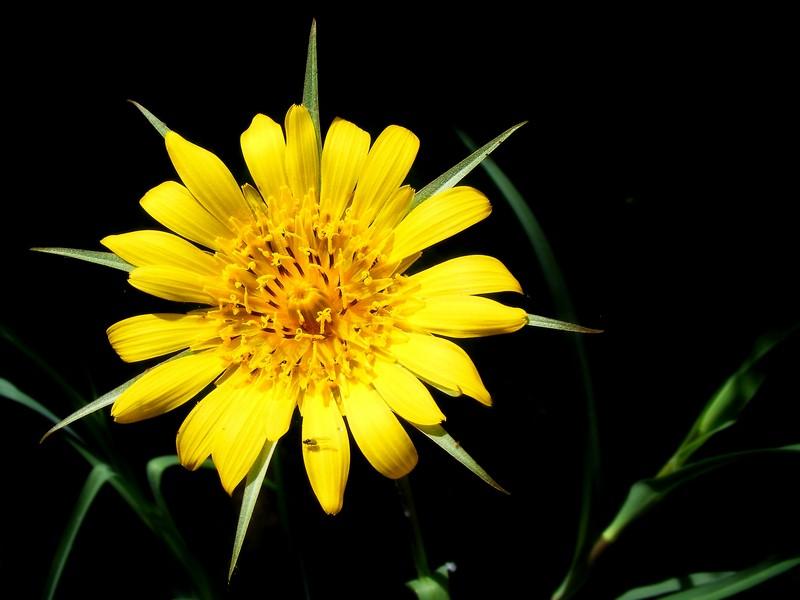 Vadvirág